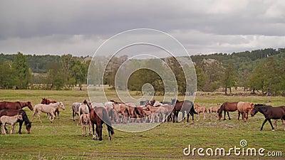 O plano geral do prado em que paste cavalos domésticos video estoque