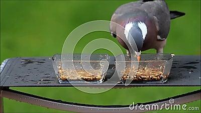 O pombo come a semente do pássaro das bacias de vidro vídeos de arquivo