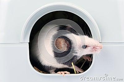 O rato pequeno que olha fora dele é furo