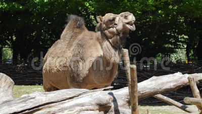 O retrato que mastiga o camelo, animal herbívoro expressivo mostra suas maxilas com os dentes enormes no jardim zoológico video estoque