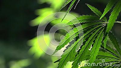 O retroiluminado, nivelando as folhas leves do cânhamo Fulgor das folhas do verde no sol No sol, o cânhamo está balançando Um ver