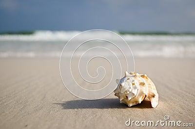 O seashell grande na costa próximo acena