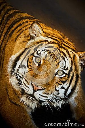 O tigre Malayan olha fixamente atentamente ao descansar na associação rasa