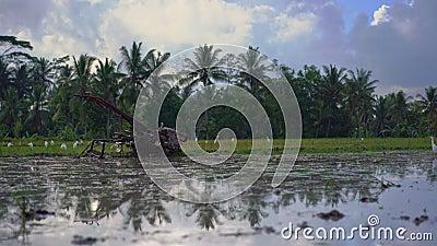 O trator do fazendeiro para cultivar o campo antes de plantar o arroz em um campo do arroz O campo é coberto com água enlameada vídeos de arquivo