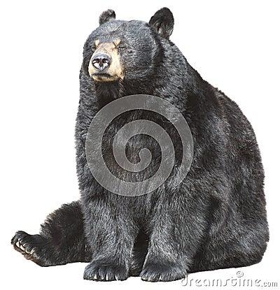 O urso preto norte-americano senta-se, dormir isolado