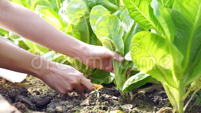 O vegetal de salada livre do inseticida orgânico video escolheu e corte da exploração agrícola do jardim video estoque