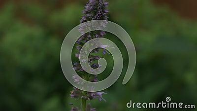 O viridissima de Tettigonia do gafanhoto e a borboleta de couve verdes no hyssop de anis médico de florescência da erva florescem vídeos de arquivo