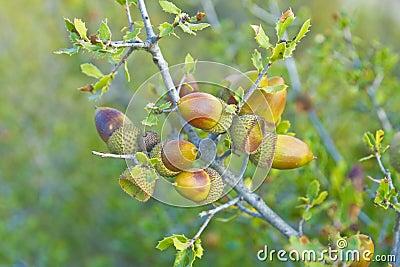 An oak acorn