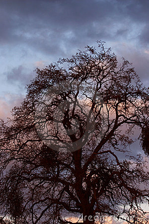 Oak Against Sunset