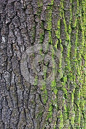 Free Oak Bark With Moss Royalty Free Stock Photos - 97936598