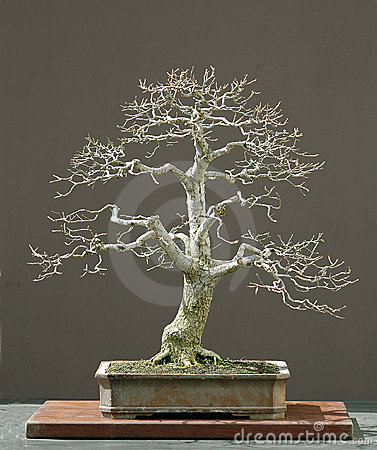 Free Oak Bonsai In Winter Royalty Free Stock Photo - 1392695