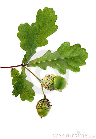 Free Oak Branch With Acorns Royalty Free Stock Images - 3236089