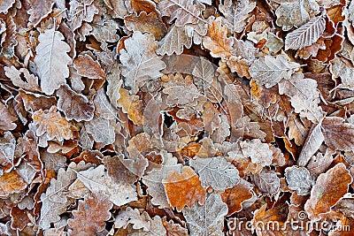 Oak Fall Foliage