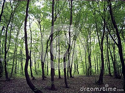 Oak forrest
