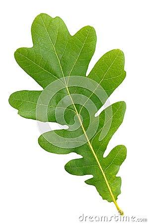 Free Oak Green Leaf Royalty Free Stock Photo - 20021065
