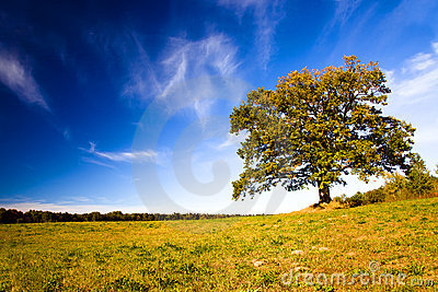 Oak growing in the field