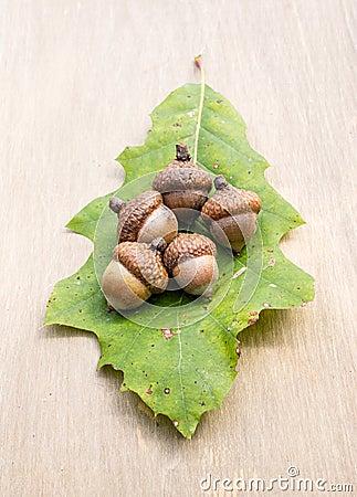Oak identification