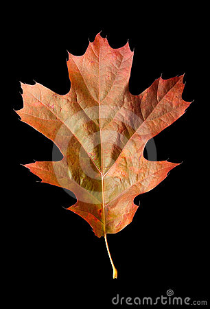 Oak Leaf 1 with clipping path