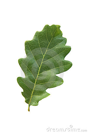 Free Oak Leaf Royalty Free Stock Photography - 15088037