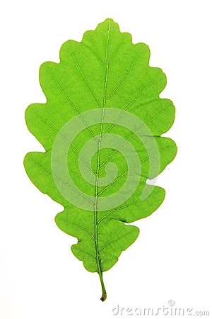 Free Oak Leaf Royalty Free Stock Photography - 50521717