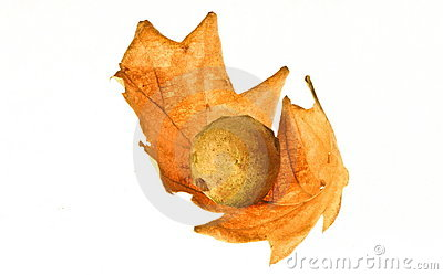 Oak Leaf Royalty Free Stock Images - Image: 7907179