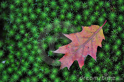 Oak Leaf on Green Moss