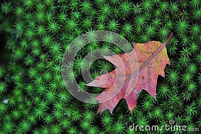 Oak Leaf on Green Moss