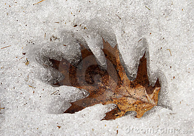 Oak Leaf in the Ice