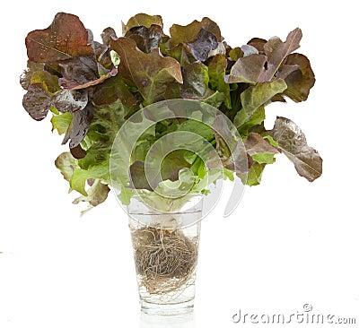 Free Oak Leaf Lettuce Isolated Stock Image - 76696321