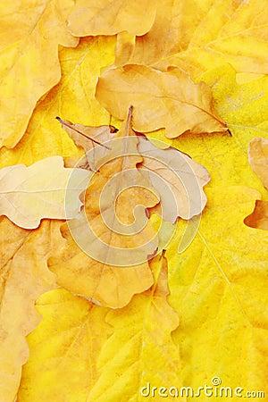 Free Oak Leaves Royalty Free Stock Photos - 6804138
