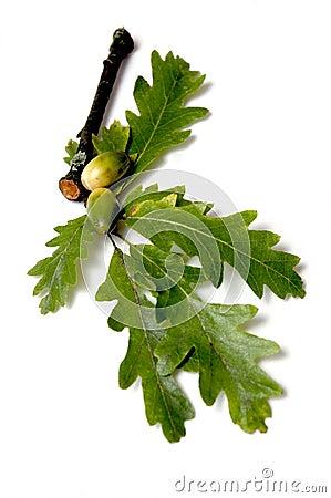 Free Oak Leaves And Acorns Stock Photos - 291363