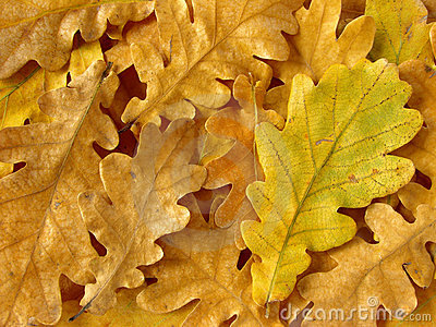 Oak leaves background