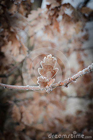 Oak leaves covered with hoarfrost
