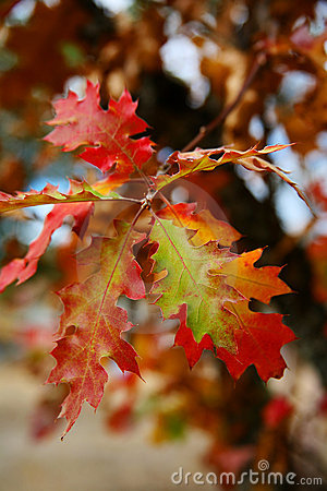 Oak Leaves in Fall