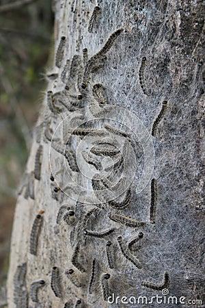 Free Oak Processionary Moth Royalty Free Stock Photo - 23440305