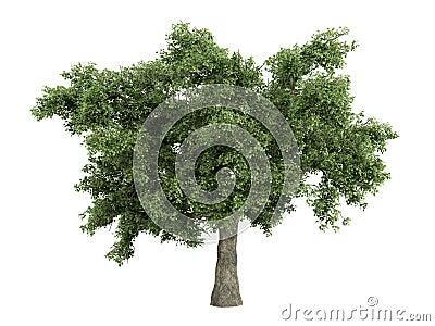 Oak_(Quercus)