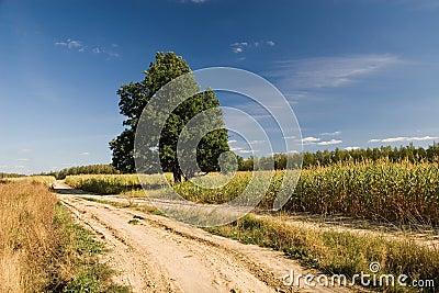 Oak and road