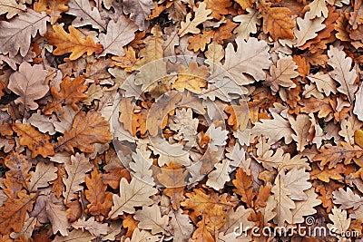 Oak s leafs