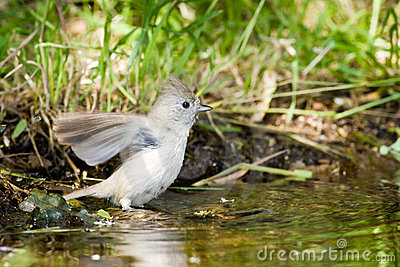 Oak Titmouse Stock Images - Image: 14140564