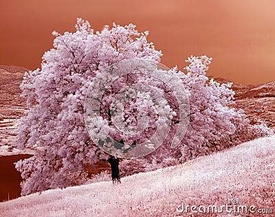 Oak tree 01