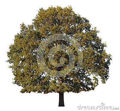 Free Oak Tree Stock Photography - 16371492