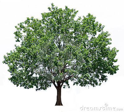 Free Oak Tree Royalty Free Stock Photo - 22232815