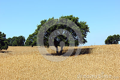 Oak tree, Alentejo, Portugal