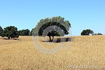 Oak tree, Alentejo, Portugal