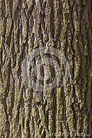 Free Oak Tree Bark Stock Photography - 114210552