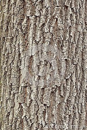 Free Oak Tree Bark Royalty Free Stock Photo - 17700685