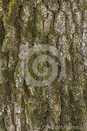 Free Oak Tree Bark Stock Images - 51746024