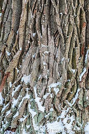 Free Oak Tree Bark Royalty Free Stock Images - 53719789
