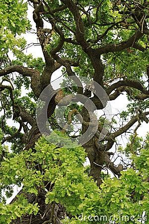 Free Oak Tree Branches Stock Photos - 19433913