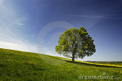 Oak tree in countryside